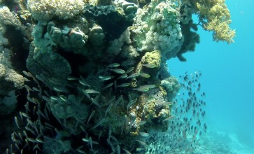 Tiny almost see-through fish colonise a coral pinnacle